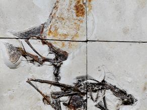 Egy lenyűgöző pteroszaurusz lelet Brazíliából