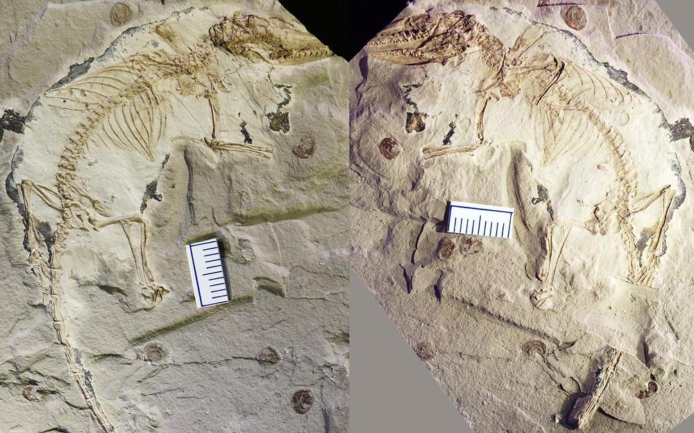 AMicrodocodon gracilis fosszíliája. Az újonnan leírt nemzetség és faj típuspéldányaként számontartott kövület a senjangi Liaoning Őslénytani Múzeum gyűjteményébe került. (Fotó: Csö-Hszi Lo)