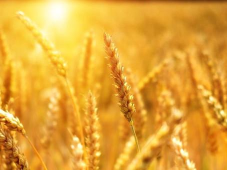 Липецкие аграрии выдержали беспрецедентный пересев озимых и аномальную жару