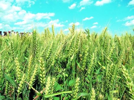 Почему растительноядные клещи на зерновых колосовых культурах в Ростовской области расширяют ареал о