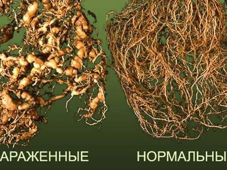Специалисты обнаружили на территории Республики Хакасия золотистую картофельную нематоду