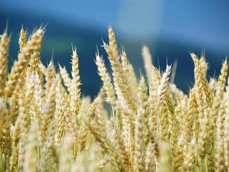 В 2 раза увеличила площади под яровой пшеницей Липецкая область в 2021 году