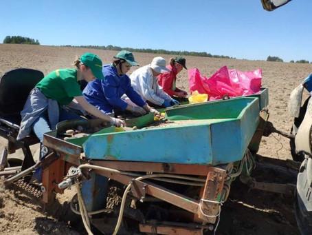 22 сорта картофеля проверяют в Костромской области на соответствие официальному описанию
