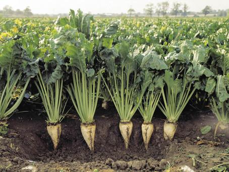 Сахарные заводы Башкирии переработали более 100 тыс. тонн свеклы нового урожая