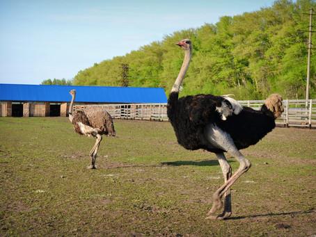 Участники обучающего проекта SEVAGRO посетили севастопольскую ферму по разведению страусов