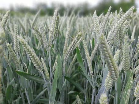 Крымские аграрии перевыполнили план сева зерновых на 21,2%