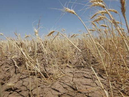 Засуха и жара привели к гибели 13% посевов в Оренбуржье