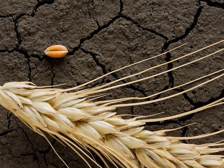Глава Тюменской области сообщил, что урожай в регионе снизится из-за засухи