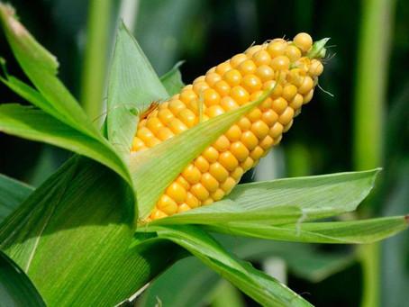 В США начали уборку кукурузы