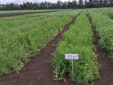 На Дне поля-2021 в Краснодаре представили лучшие сорта зернобобовых и новую озимую пшеницу «Агрофак
