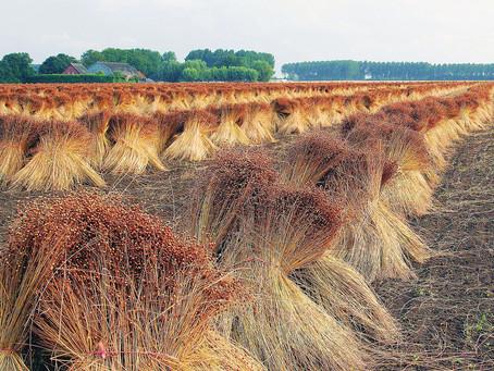 Новосибирские аграрии отдают приориет выращиванию льна