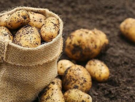 Когда жителям Подмосковья ожидать первого местного урожая ранней картошки