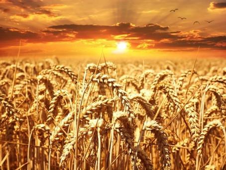 Союз фермеров Германии прогнозирует снижение производства зерновых в 2020 году