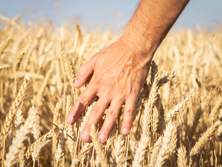 Такая пшеница нужна самому - Россия сокращает экспорт зерна
