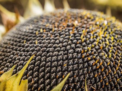 Полмиллиона тонн подсолнечника – 50% от ожидаемого урожая в Тамбовской области