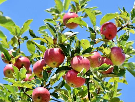 Фермер из Ставрополья планирует высадить яблоневый сад