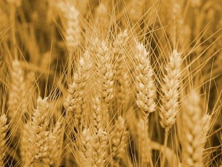 Ростовская область заявила о небывалом урожае ранних зерновых в 2021 году