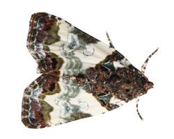 Tufted Bird Dropping Moth