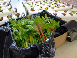 Organic Chard Grown From Mills
