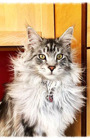 European Maine Coon Kittens For Sale Los AngelesLos Angeles, California
