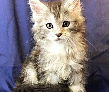 European Maine Coon Kittens For Sale San Diego, California