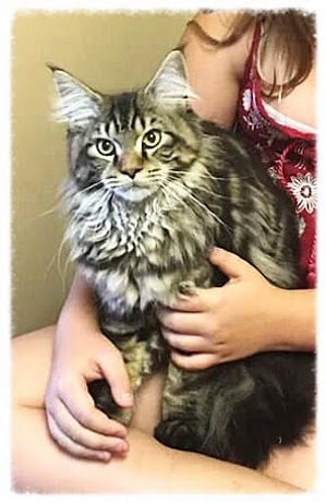 European Maine Coon Kittens For Sale Los Angeles, California