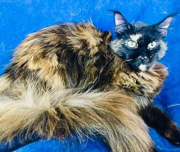 European Maine Coons For Sale Los Angeles California