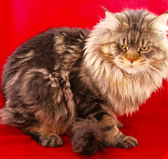 European Maine Coons For Sale San Diego, California