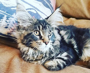European Maine Coon Kittens For Sale Los Angeles