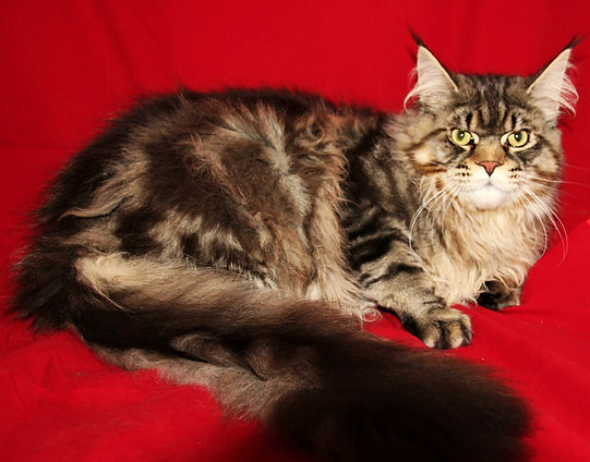 Maine Coon Cat For Sale Los Angeles, California
