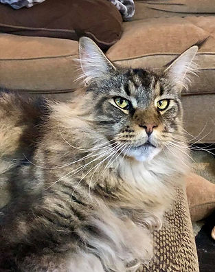 European Maine Coon Cat For Sale Los Angeles, California