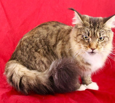 Maine Coon Kittens For Sale San Diego, California