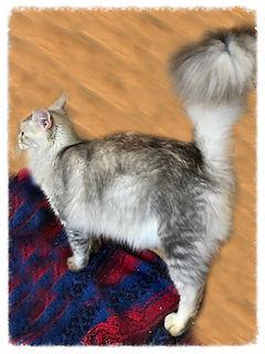 European Maine Coon Cats For Sale San Diego, California