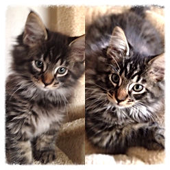 European Maine Coon Kittens For Sale San Diego