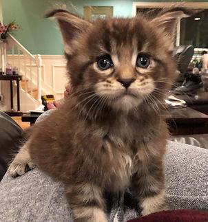 European Maine Coon Kitten For Sale Los Angeles, California