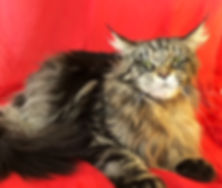 European Maine Coon Kittens For Sale Los Angeles, California-55C216A62A40.JPG