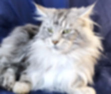 European Maine Coon Kittens For Sale San Diego, California