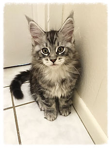 European Maine Coon Cats For Sale Los AngelesLos Angeles, California