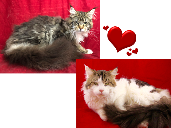 European Maine Coon | Maine Coon Kittens For Sale | San Diego