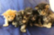 opean Maine Coon Kittens For Sale, San Diego, California