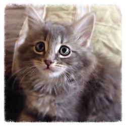 European Maine Coon Kittens For Sale San DiegoLos Angeles, California