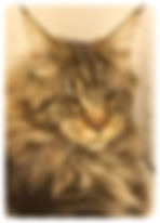Maine Coons For Sale San Diego, California