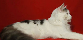 European Maine Coon Cats For Sale San Diego, California