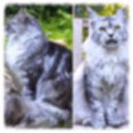 European Maine Coons For Sale San Diego, Los Angeles, California