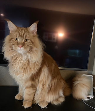 European Maine Coon Cats For Sale Los Angeles, California