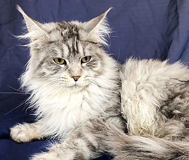 European Maine Coons For Sale Los Angeles, California