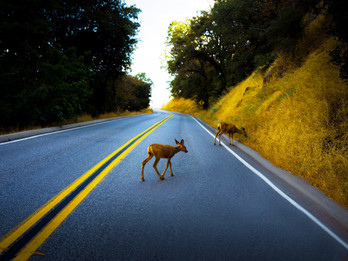 Helpful Tips for Handling Accidents involving Deer