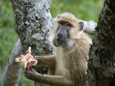 Baboon-feeding-EM-768x576.jpg