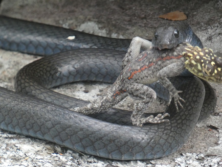 Snake snack at Issa! (Credit: F. Olthoff - June '21)