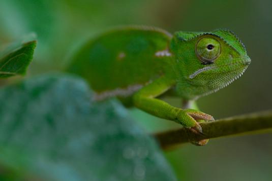 Chameleon2-small.jpg